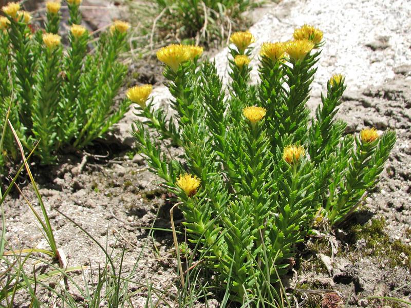 Rhodiola cf. heterodonta, Huespan=Gondoghoro Base Camp 4680m, Baltistan