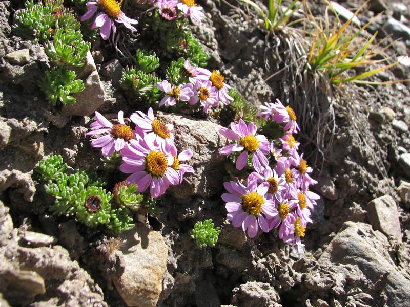 Waldheimia glabra