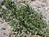 Capparis spinosa or C. himalayensis