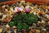 Saxifrage sown and raised by Ger van der Beuken,
