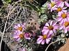 Parnassius hunza on Waldheimia  vestita