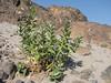 Calotropis procera ssp. hamiltonii