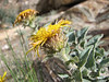 Inula obtusifolia