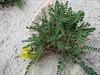 Astragalus candolleanum or A. zanskarensis ?