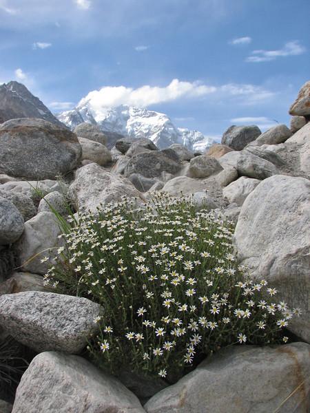 Chrysanthemum pytethroides (syn. Richteria pyrethroides),  Huespan 4680m - Shaicho 3300m, Baltistan