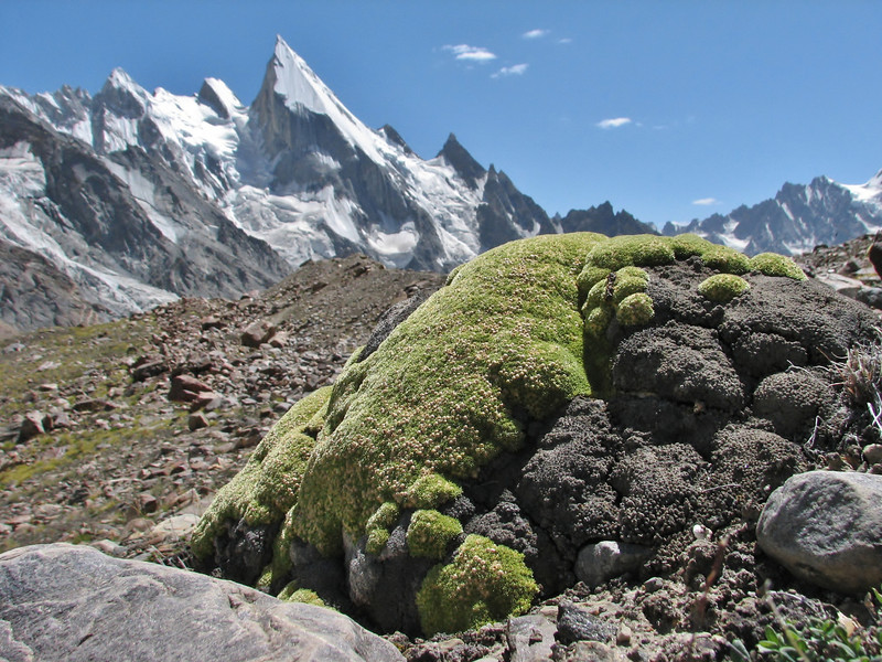 Thylacospermum caespitosum and Laila Peak 6400m,
