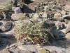 Echinops cornigerus