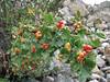 Ribes orientale