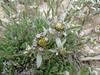 Leontopodium himalayanum
