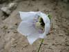 Codonopsis clematidea