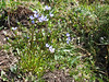 Comastoma falcatum