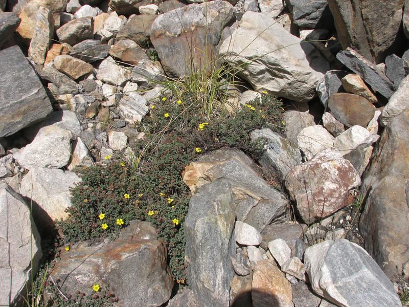 Dasiphora dryandanthoides
