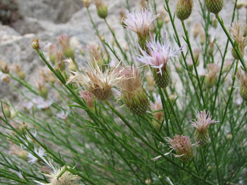 Jurinea cf. pilostemonoides, Skardu - Askole 3000m, Shigar Valley, Baltistan.