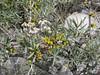 Hippophae rhamnoides ssp. turkestanica