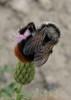 Cousinea thomsonii