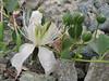 Capparis spinosa,Hushe 3050 - Skardu, Baltistan