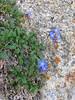 Decalepidanthus moltkioides or perhaps D.primuloides ?