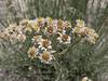 Anaphalis cf. contorta, Shaicho 3300m -  Hushe 3050m, Baltistan