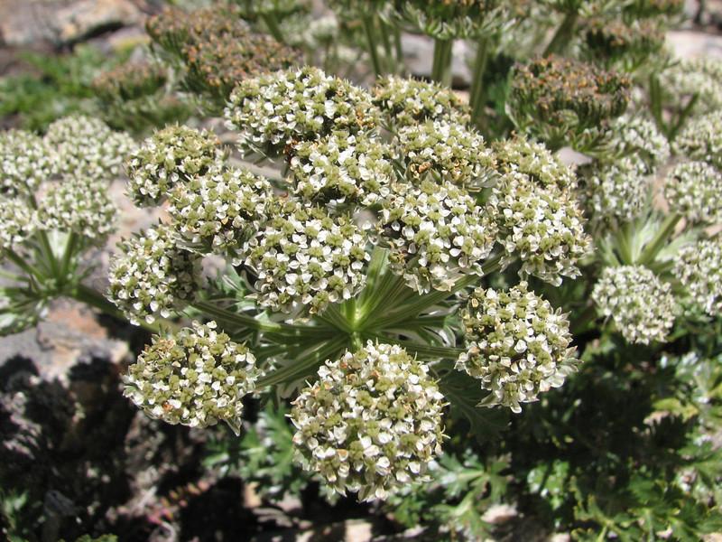 Pleurospermum brunonis