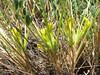 Astragalus zanskarensis