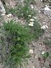 Chrysanthemum pytethroides
