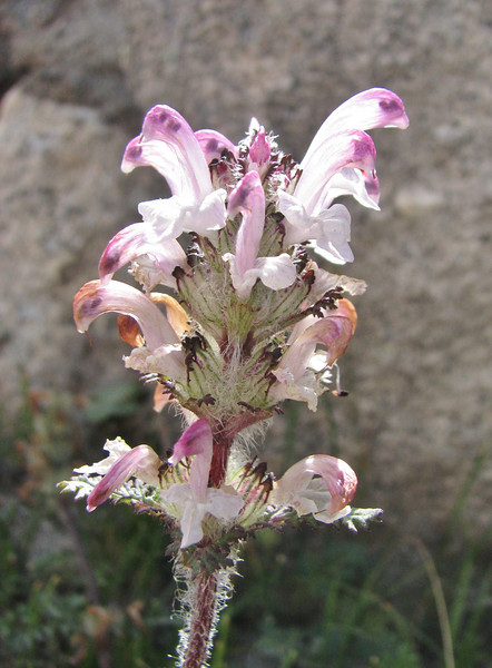 Pedicularis cheilanthifolia