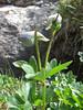 Delphinium cashmerianum