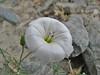Convolvulus prostratus, Hushe 3050 - Skardu, Baltistan