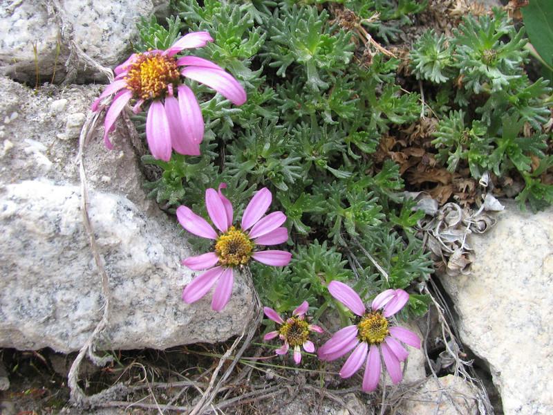 Waldheimia tridactylites