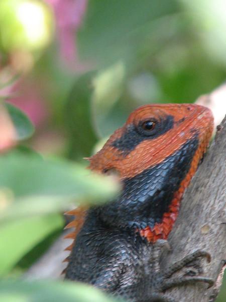 Calotes versicolor, Oriental Garden Lizard. Islamabad, Pakistan