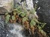 Corydalis ? Huespan 4680m - Shaicho 3300m, Baltistan