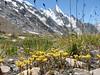 Saxifraga stenophylla, and Layla Peak 6200m