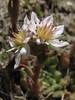 Rosularia alpestris