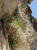 Cicerbita roborowskii,  Huespan 4680m - Shaicho 3300m, Baltistan
