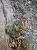 Corydalis spec