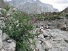 Hedysarum falconeri,  Huespan 4680m - Shaicho 3300m, Baltistan