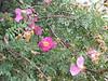 Rosa webbiana