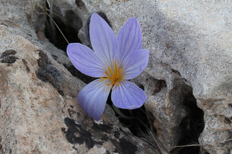 Crocus cancellatus ssp. damascenus, alt. 550m, limestone, 50km East of Sanli-urfu [12]