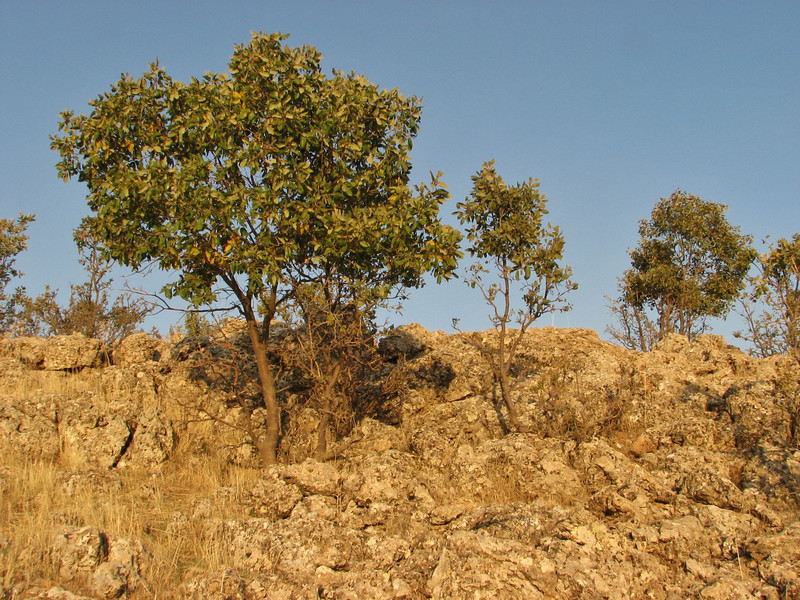 Quercus brantii,  between Mazidagi and Derik [11] alt. 955m, limestone