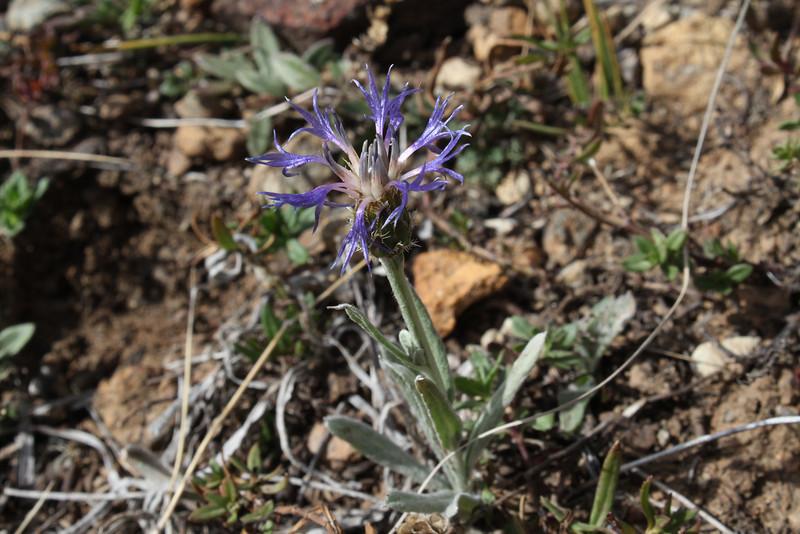 Centaurea spec.    Yeniköy 2400m before Sakaltutan Gecidi
