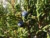 Juniperus sabina, Bögrüdelik Gecidi 1800m (Gürün-Ulas) [3]