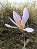 Crocus cancellatus ssp. damascenus, 5km North of Erzincan, South hill 1900m [6]