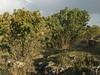 Habitat of Quercus brantii, 800m, limestone, 5km  N.E. of Mazidagi [10]