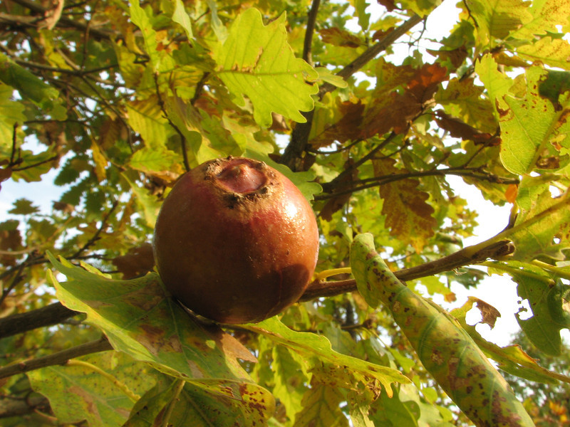 Oak apple (gall)  Ihtiyarsahap Daglari, Bitlis-Hizan [8]