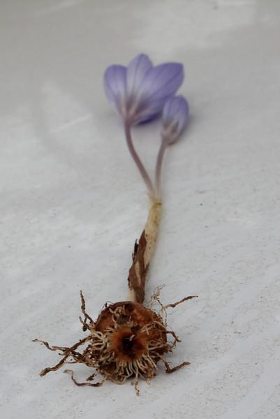 Crocus speciosus ssp. ilgazensis, near Akdag 1575m North of Amasya [4] (bulb only for determination purposes)