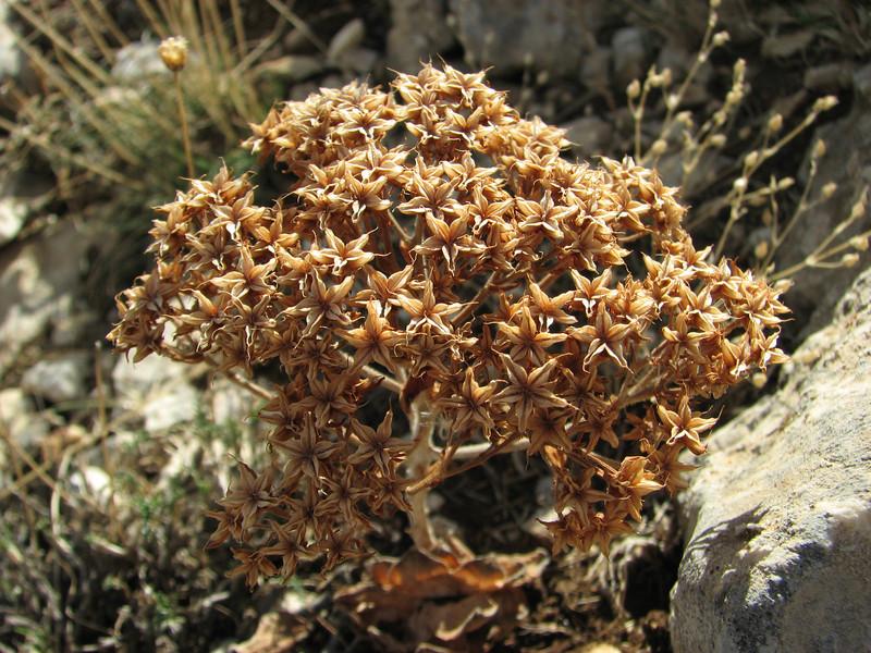 Sedum sempervivoides, Ziyaret Gecidi 1900m [3] (Gurün-Pinarbasi)