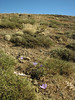 Habitat of Crocus kotschyanus ssp. kotschyanus   (Tepehan-Malatya) 3km before Kubbe Gecidi 1880m