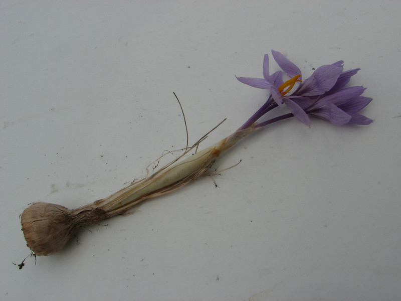 Crocus pallasii ssp. turcicus, alt. 500m 12km S.E. of Diyarbakir [9] (bulb only for determination purposes)