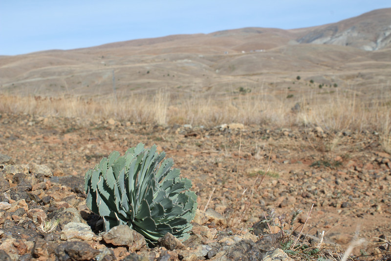 Habitat of Cochlearia sempervivum  Boiss. & Bal., a Nickel (Ni) accumulator and a particularly unusual and rare crucifer with a Crassulaceous appearance (a serpentine endemic?)near Koyulhisar (NE of Erzincan)