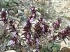 Thymus cf. transcaucasicus, Erzinkan